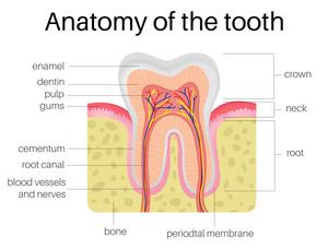 tooth-dental-dentist-anatomy-teeth-enamel-dentin-pulp-gums-roots-drawing-anatomical