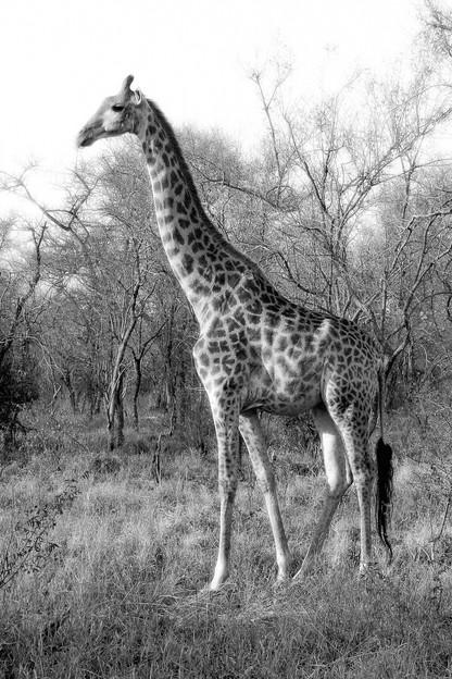 Giraffe in Winter