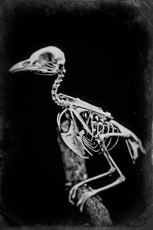 old crow  Wet PlateTB8_8265-2.JPG