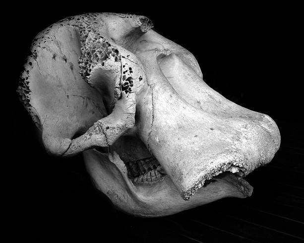 Elephant skull 24x.JPG