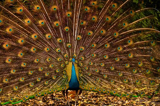 Peacock Strut, Tigertail . Coconut Grove
