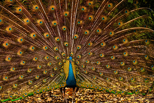 Peacock Strut, Tigertail . Coconut Grove