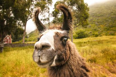 Big Sur Lama