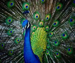 Peacock In The Hood