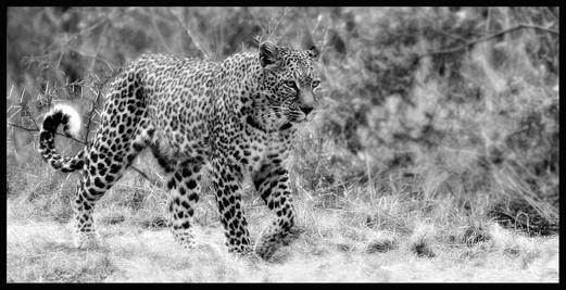 Leopard Stalk