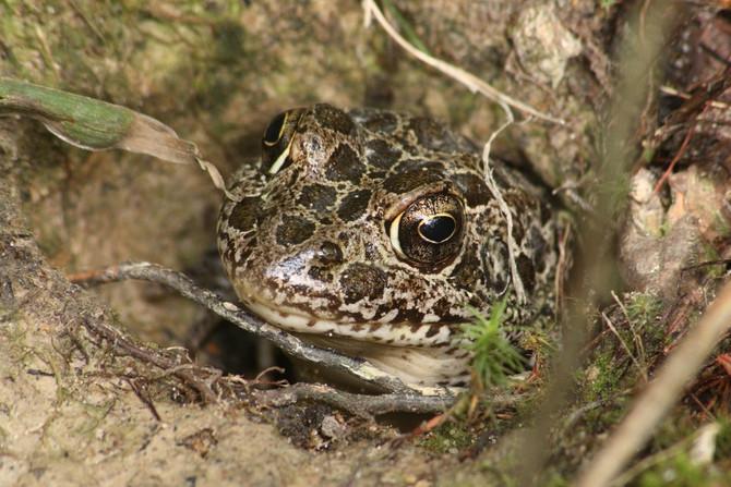 Crawfish Frog Update