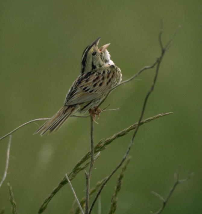 Henslow's Sparrow Survey