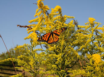 monarch with goldenrod.jpg