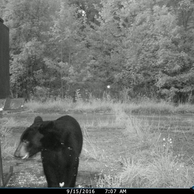 A Big Oaks Bear Story