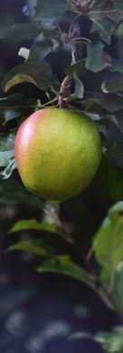 Isaac Garcia--Apple Harvest