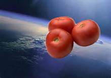 Des tomates extraterrestres / Space Tomatoes