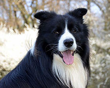 long-haired-border-collie.jpg
