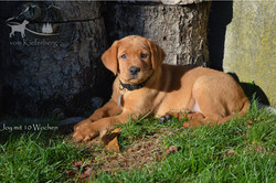 Labradorzucht vom Kieferberg