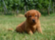 Labrador Welpe foxred