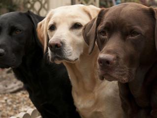 Labrador oder Retriever?