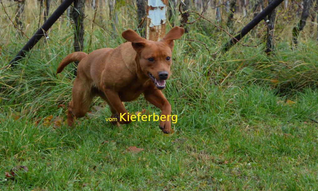 www.labradorzucht-vom-kieferberg.com