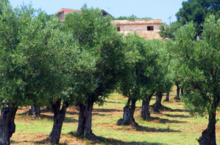 Carolea: the Calabria Olive Tree