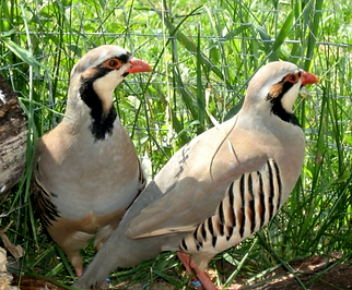 NEFF Chukar Partridge birds.png