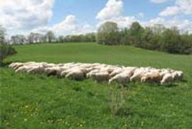 lamb_sweetgrass_1.jpg