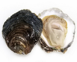 New Brunswick Oysters