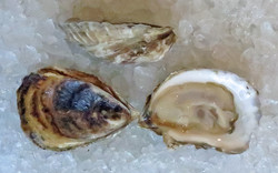 Massachusetts Oysters