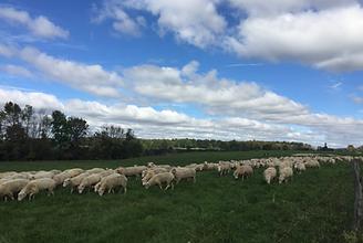 NEFF Pine Hill Farms Lamb.png