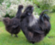 NEFF Black Silkie birds.png