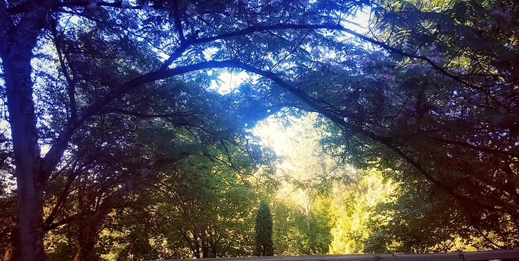 View of evergreens through the arching branches of a mimosa tree