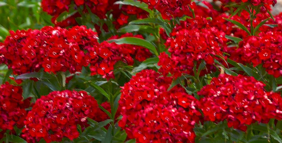 Dianthus Barbatus 'Scarlet Fever'