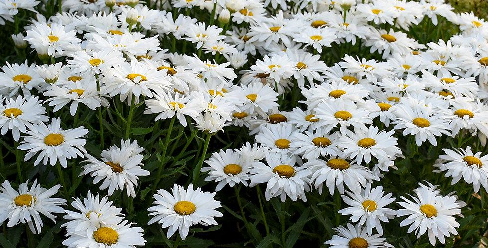 Leucanthemum Superbum 'Whoops A Daisy'