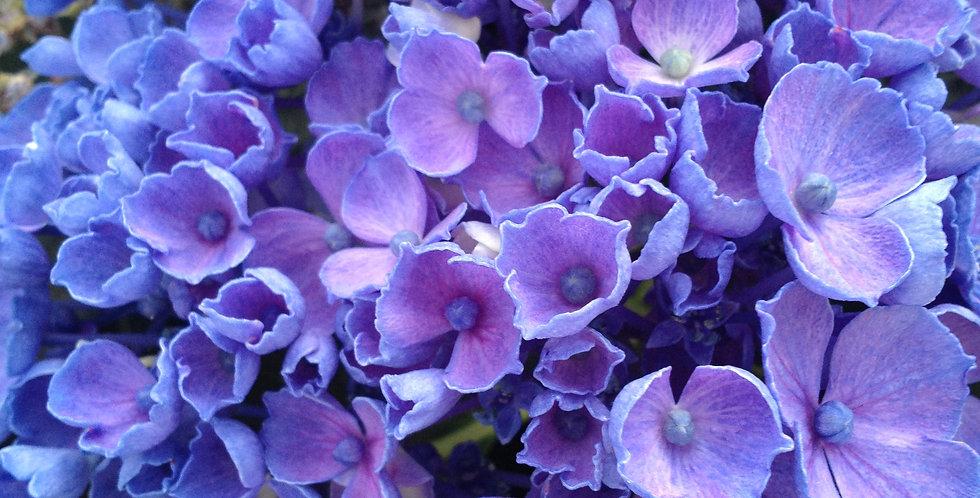 Hydrangea Rhythmic Blue