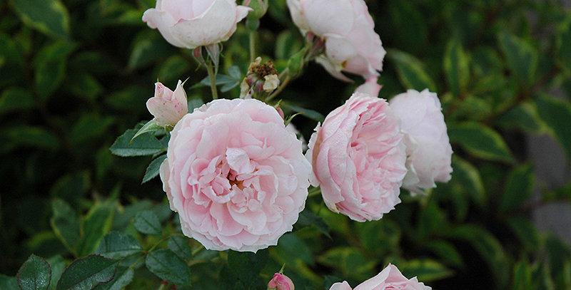 Rose Morden Blush