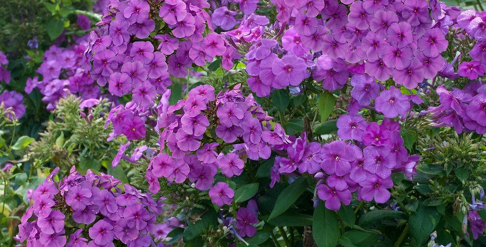 Phlox Paniculata FLAME™ Series Purple 'Barfourteen'