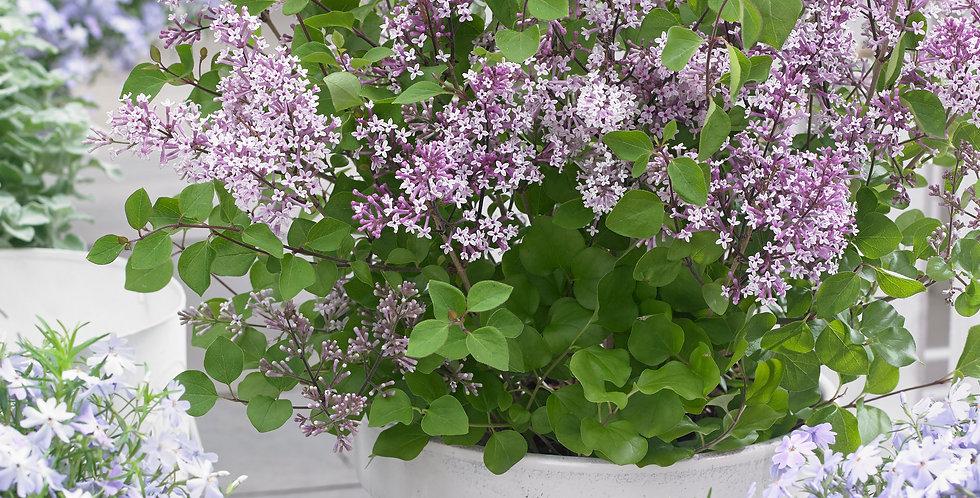 Syringa Flowerfesta Purple