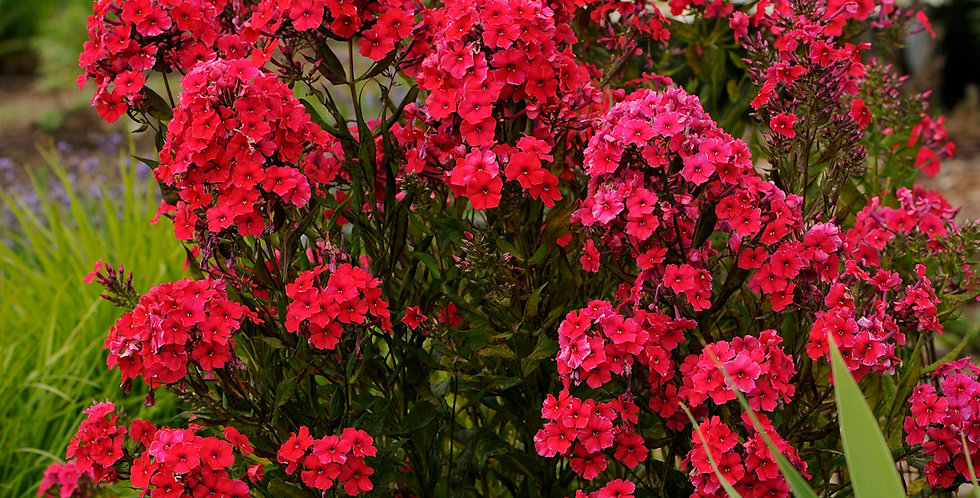 Phlox Paniculata 'Red Riding Hood'