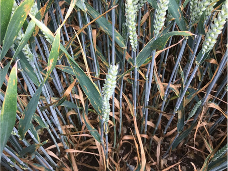 The perfect storm – septoria's resurgence in 2021