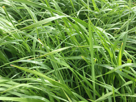 Grass Seed Break Crop Delivers Multiple Benefits