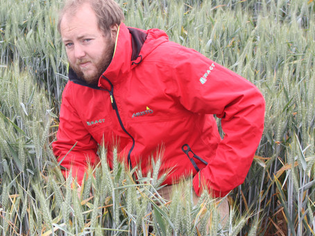 BYDV-resistant wheat thrives despite high aphid pressure