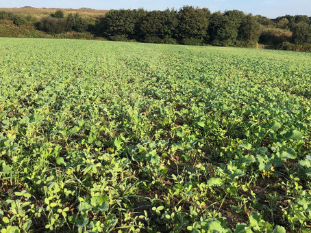 Blocking the Beetle - New Trials Assess Potential of OSR/Companion Crop Mix