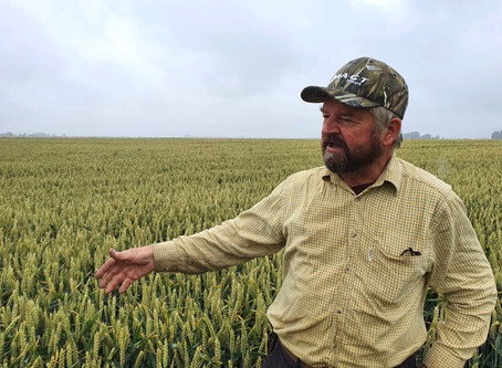 RGT Lantern – a beacon of light for second wheat growers
