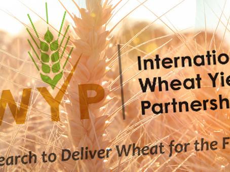 Launch of the International Wheat Yield Partnership (IWYP) European Winter Wheat Hub