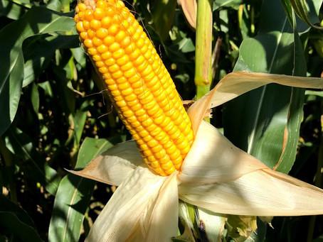 New Maize Variety RGT Pixxon Attracts Keen Interest