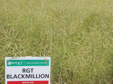 New Oilseed Rape RGT Blackmillion Impresses in North Yorkshire