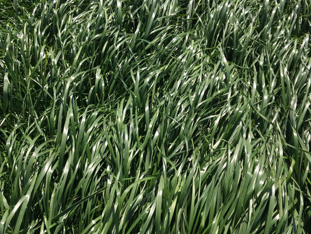 We introduce you to our Grass breeding programme