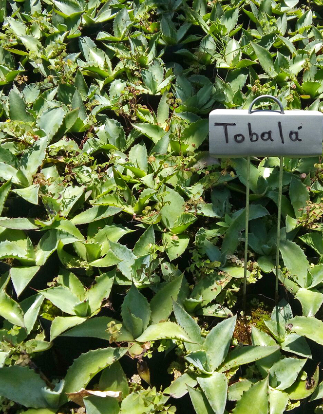 agave tobala