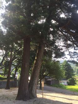 Matchmaking tree in Sawara Shrine