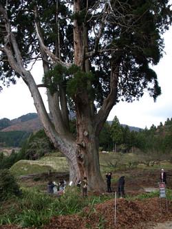 The Great Sugi in Sawara Shrine