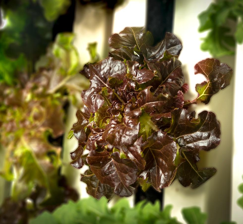 Red Lettuce (1).png