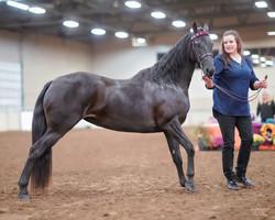 Jeddry  - 2019 Morgan Horse Show - Aug 3