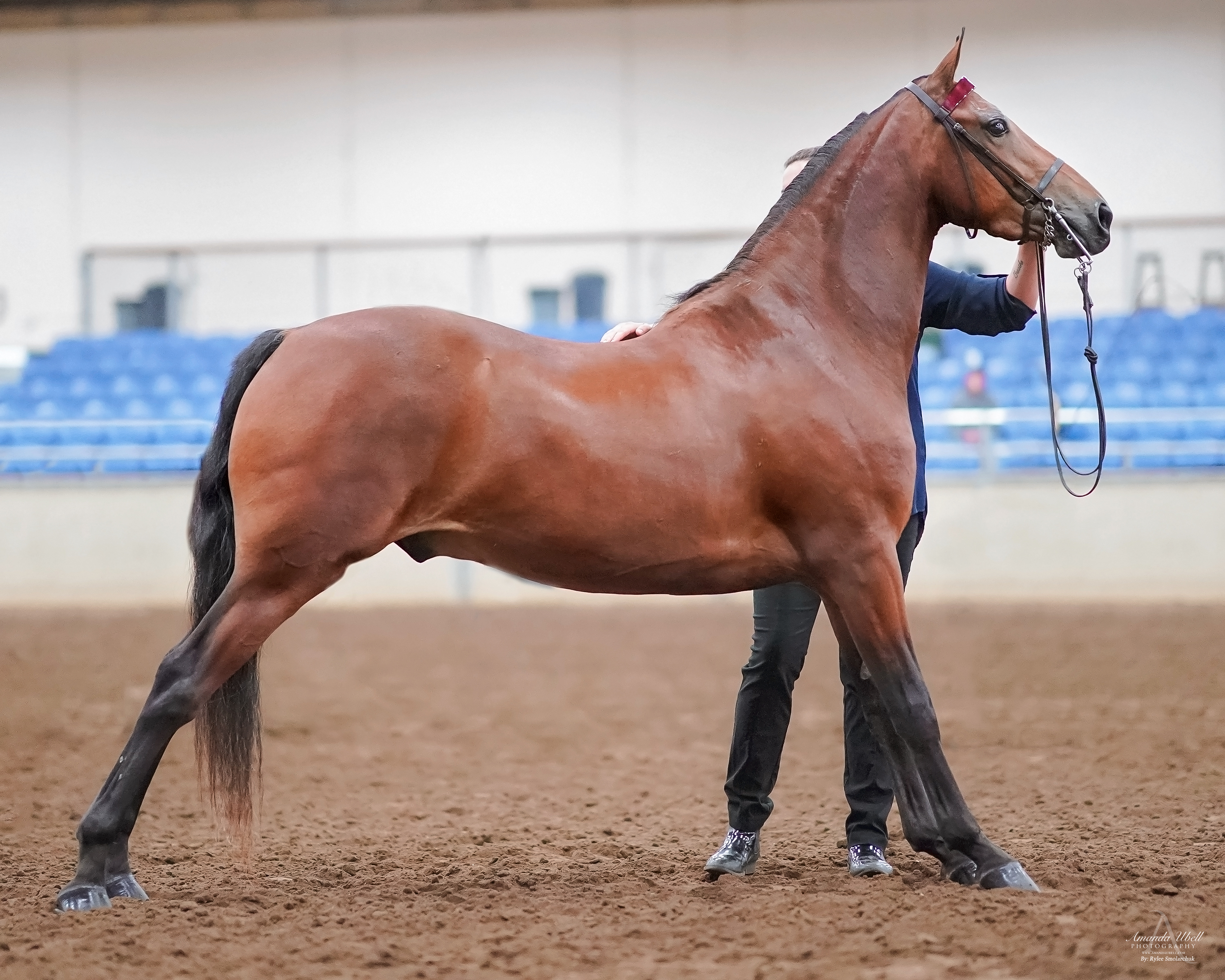 Jeddry  - 2019 Morgan Horse Show - Aug 3